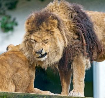 lion-sneezing